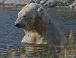 Male Polar Bear